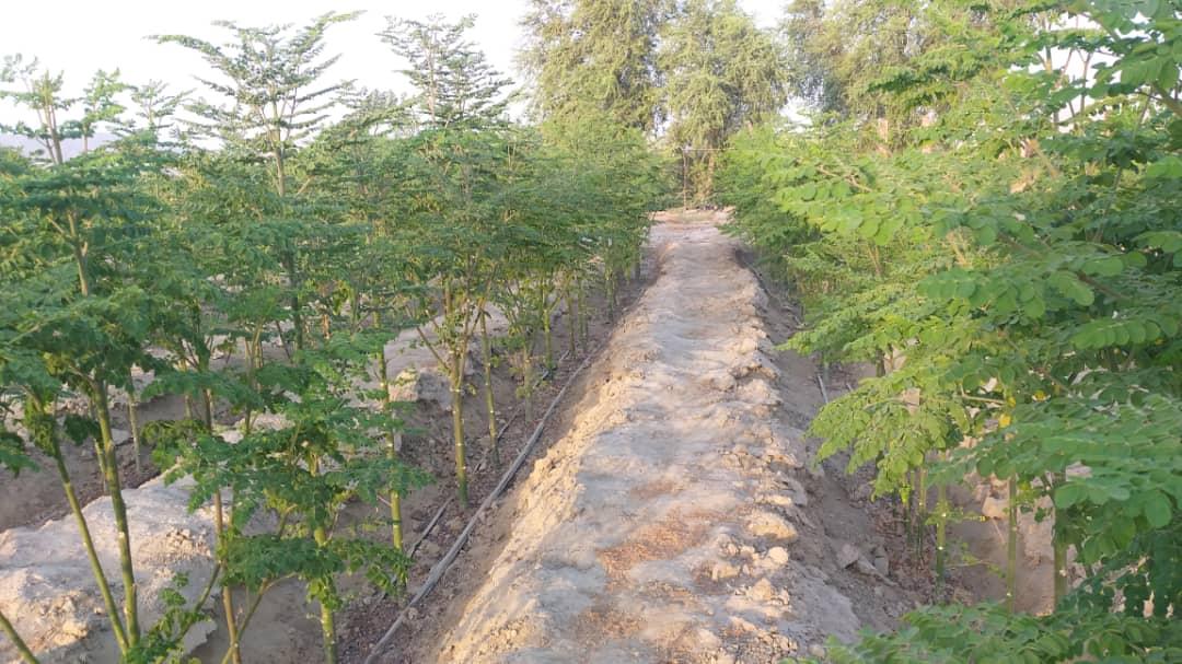 مزارع مورینگا اولیفرا