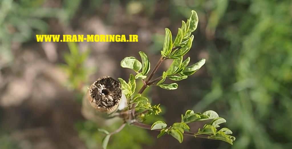 هرس کردن مورینگا