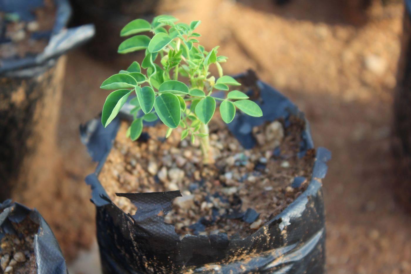 کاشت درخت مورینگا بذر