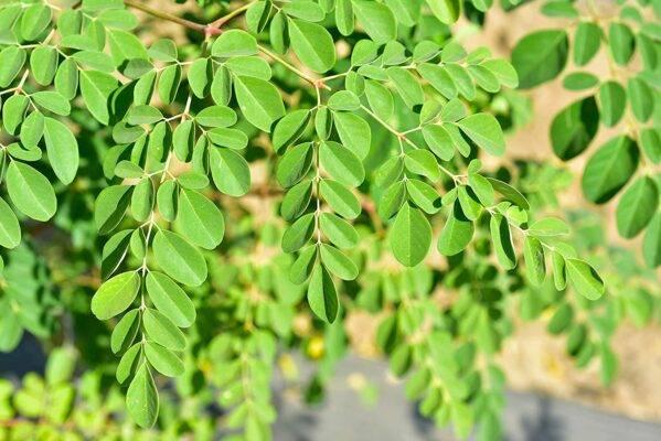 مورینگا درخت معجزه