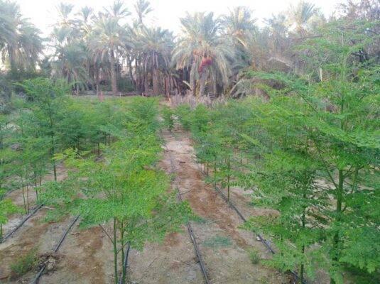 کاشت درخت مورینگا